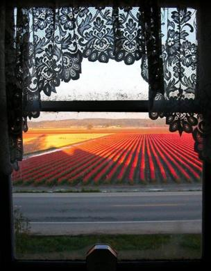 A view of tulips framed by a window