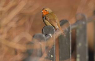 A robin sitting on a fence