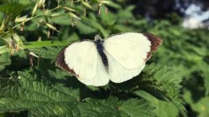 Butterfly on a nettle