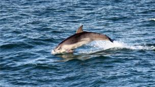 Dolphin in New Quay