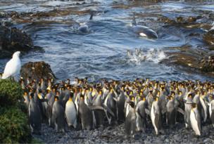 مجموعة من الحيتان القاتلة تدخل فجأة في خليج صغير في جزيرة ماريون في القارة القطبية الجنوبية المتجمدة، وتفاجئ مجموعة صغيرة من البطاريق الملكية داخل المياه.