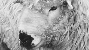 Greyface Dartmoor ram by Lynne Jackson