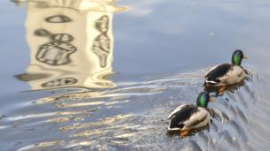 Ducks swimming at Roath Park in Cardiff, snapped by Joann Randles