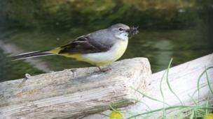 Grey wagtail enjoying a snack at Greenfield Valley Park in Flintshire.