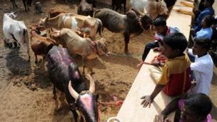 ஜல்லிக்கட்டு காளையை பார்வையிடும் சிறுவர்கள்