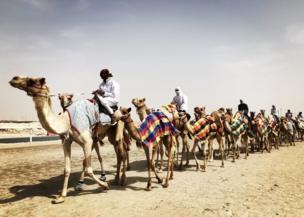 A caravan of camels in Qatar