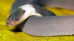 A new species of snake called 'parafimbrios lao', discovered in Laos