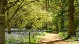 """Beautiful bluebells at Harcourt Arboretum"""