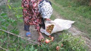 زنان روستایی ابتدا انارهایی را که در حاشیه جنگل به صورت خودرو میرویند، با چوبی بلند به نام تیلا که نوک آن شبیه عدد هشت فارسی می باشد میچینند.