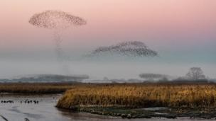 A murmuration of starlings over RSPB Otmoor