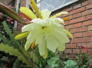 Flor de la fruta de dragón