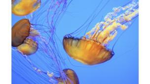 Grupo de medusas ortigas de mar (Chrysaora fuscescens).