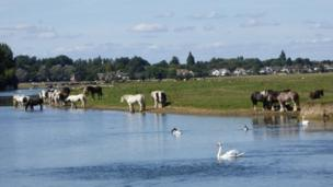 Horses cool off in the water at Port Meadow.