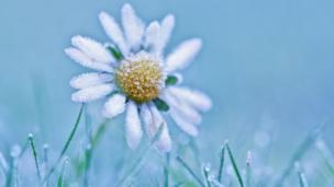 Daisy in frost