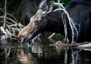 A moose drinks from a river