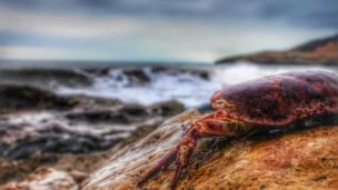 A crab at Langland Bay, Swansea