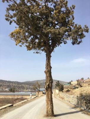 जूनिपर पेड़