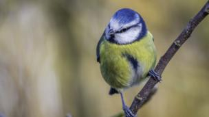 This blue tit seems to be enjoying visiting a Farmoor garden on a fresh, cold day