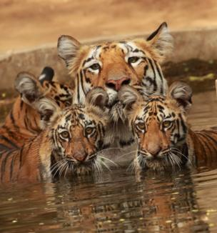 A mother tiger and her cubs