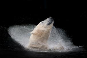 A polar bear enjoying a bath