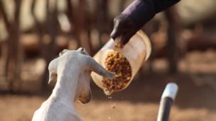Mifugo wengi wamekufa kutokana na ukosefu wa chakula na maji, pamoja na kutembea umbali mrefu kutafuta maji na lishe.