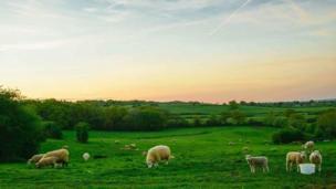 Lambs on Boars Hill