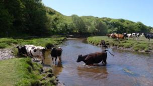 Cows in a river near Three Cliffs Bay