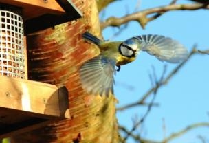 A blue tit takes flight