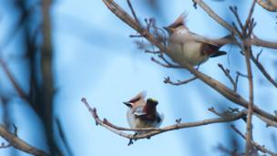 Waxwings on tree branches