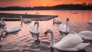 Swans at Cosmeston Lake in Vale of Glamorgan