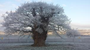 The Brimmon Oak in Newtown, Powys
