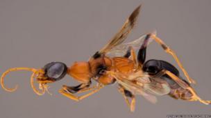 Ampulex dementor wasp