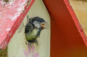 Chick in a bird box
