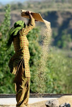 Mujer trabaja el trigo