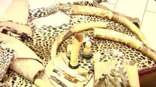 En Côte d'Ivoire, les autorités ont saisi près de 40 kilogrammes d'ivoire et sept peaux de panthères lors de l'interpellation de deux trafiquants.