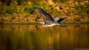 A heron in flight at Tar Lakes, near Witney.