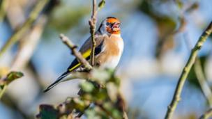 Goldfinch in Farmoor