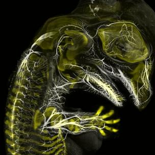 Embrión de caimán