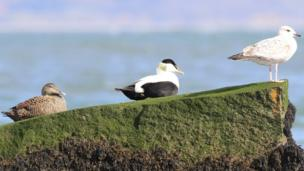 Three little birds at Traeth Lafan, taken by Jonathan Young of Abergele