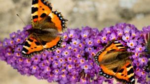 A pair of small tortoiseshell butterflies on a buddleia.