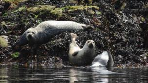 These seals were caught basking in the heat near Oban