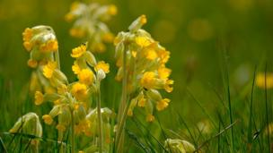 Cowslips in the sunshine, taken by the River Thames not far from Bampton