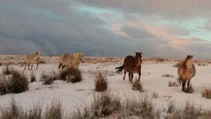 Ponies on a snowy hillside above Aberdare in the Cynon Valley