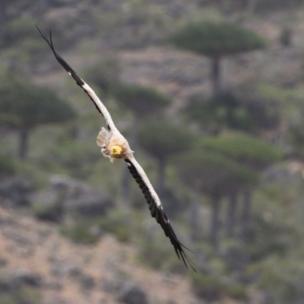 Egyptian Vulture, Neophron Percnopteru