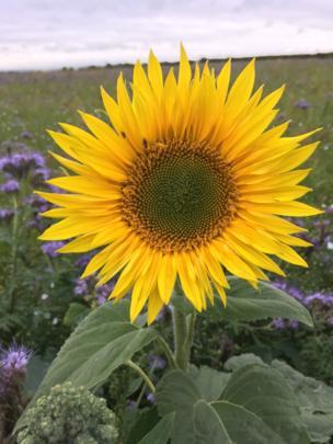 Wild flower in farmers field