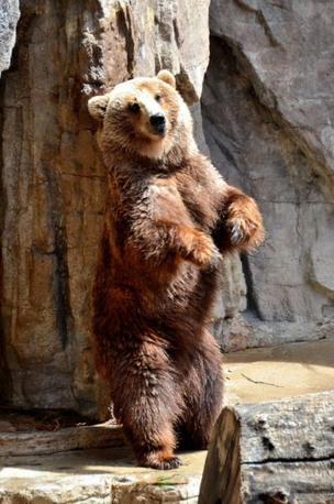 หมีกำลังเสียดสีหลังตัวเอง ดูท่าทางมีความสุข