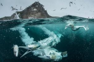 Northern Gannets diving for fish