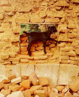 ईंट की दीवार पर बकरी