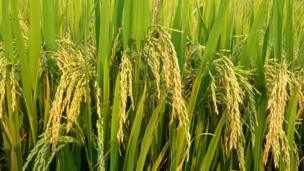 A close up photograph of rice plants.