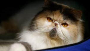 แมวเปอร์เชียร์ที่ร่วมงานประกวดแมวในไทย